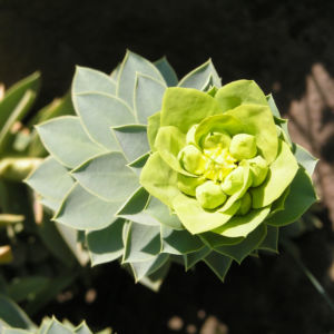 Walzen Wolfsmich Scheinbluete gelblich Euphorbia myrsinites 08 1