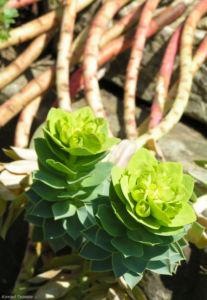 Walzen Wolfsmich Scheinbluete gelblich Euphorbia myrsinites 09 1