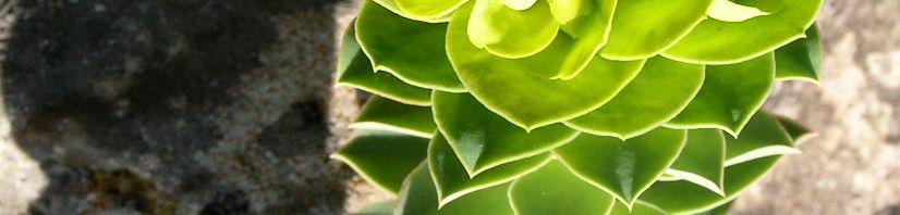 Anklicken um das ganze Bild zu sehen Walzen Wolfsmilch Scheinblüte gelblich Euphorbia myrsinites