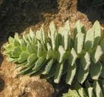 Walzen Wolfsmilch immergruen Blatt gruen Euphorbia myrsinites 02