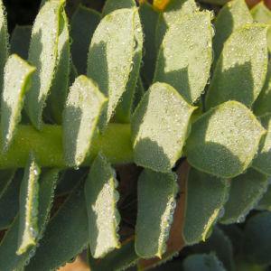 Walzen Wolfsmilch immergruen Blatt gruen Euphorbia myrsinites 07