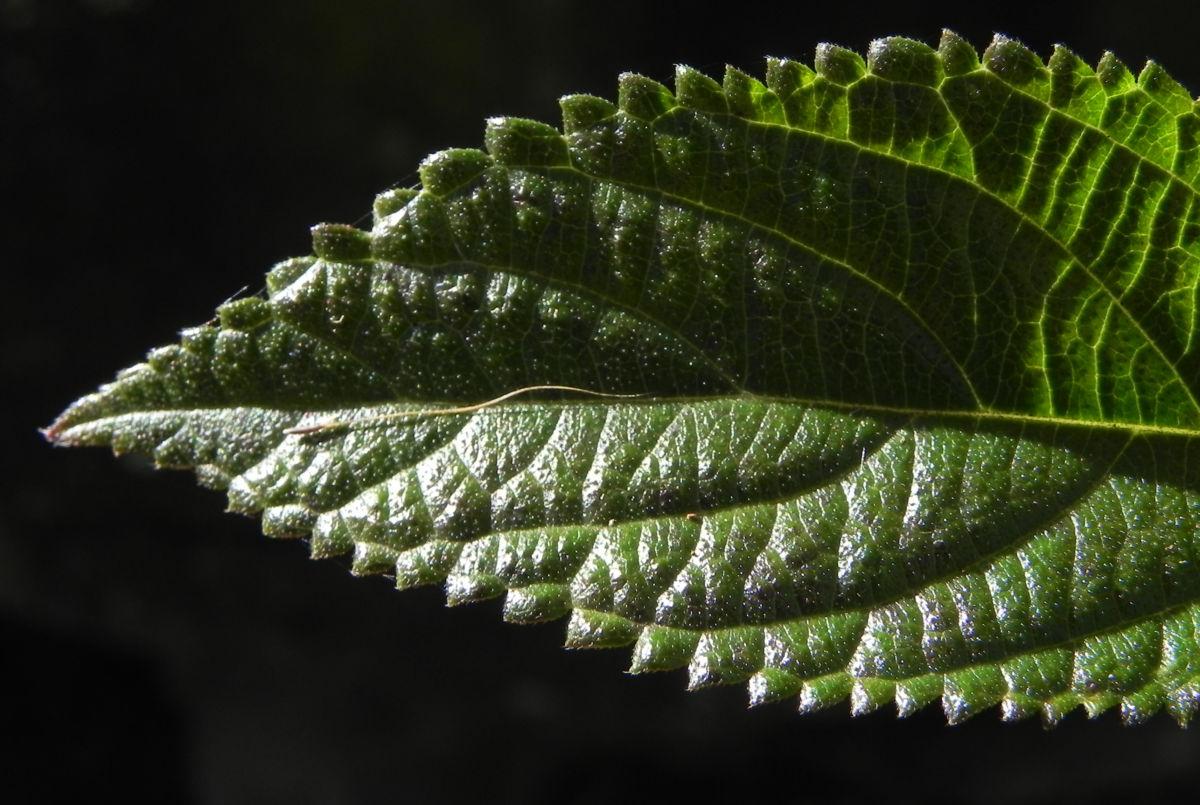 Wandelroeschen Blatt gruen Lantana camara