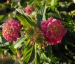 Bild: Wandelröschen Blüte pink gelb Lantana camara