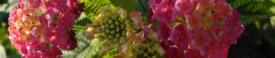 Anklicken um das ganze Bild zu sehen Wandelröschen Blüte pink gelb Lantana camara
