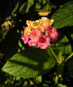Wandelroeschen Bluete pink gelb Lantana camara 02