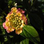 Wandelroeschen Bluete pink gelb Lantana camara 03
