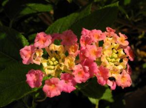Wandelroeschen Bluete pink gelb Lantana camara 04