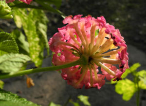 Wandelroeschen Bluete pink gelb Lantana camara 06