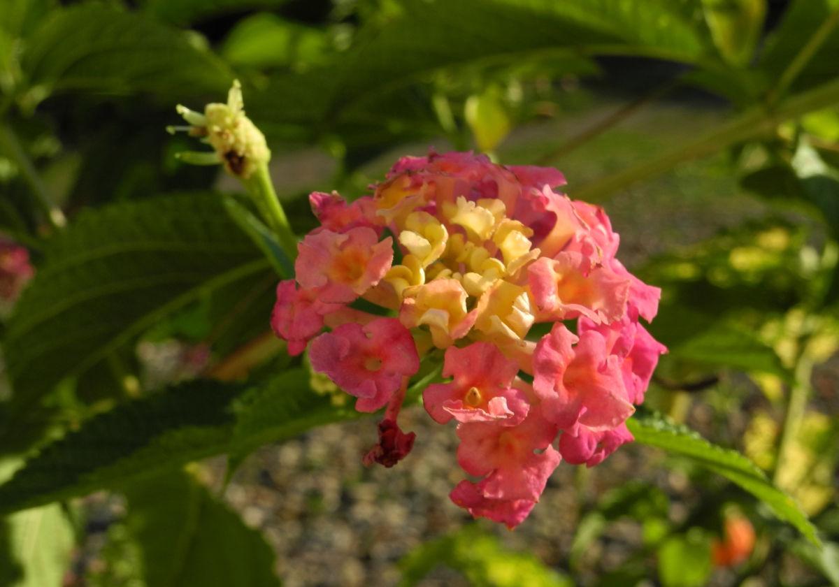 Wandelroeschen Bluete pink gelb Lantana camara