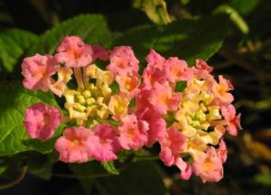 Wandelroeschen Bluete pink gelb Lantana camara 09