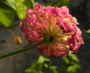 Wandelroeschen Bluete pink gelb Lantana camara 10