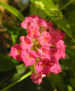 Wandelroeschen Bluete pink gelb Lantana camara 11