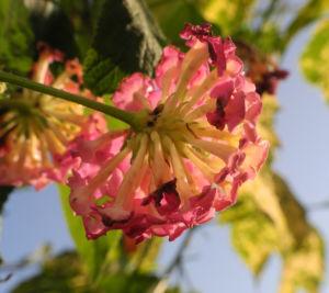 Wandelroeschen Bluete pink gelb Lantana camara 12
