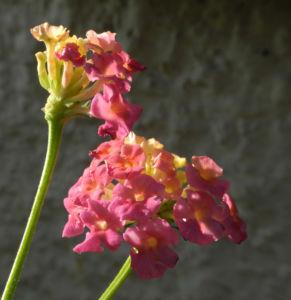 Wandelroeschen Bluete pink gelb Lantana camara 13