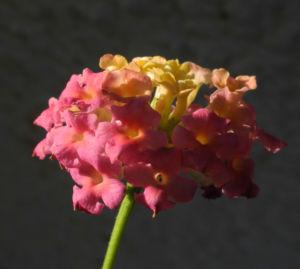 Wandelroeschen Bluete pink gelb Lantana camara 14
