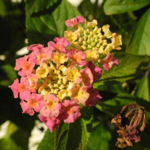 Wandelroeschen Bluete pink gelb Lantana camara 16