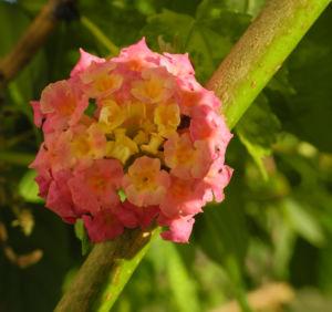 Wandelroeschen Bluete pink gelb Lantana camara 17