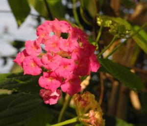 Wandelroeschen Bluete pink gelb Lantana camara 18