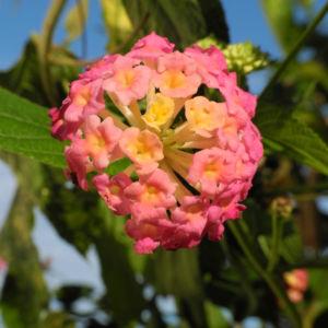 Wandelroeschen Bluete pink gelb Lantana camara 19