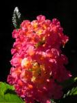 Bild: Wandelröschen Blüte rot orange Blatt grün Lantana camara