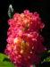 Zurück zum kompletten Bilderset Wandelröschen Blüte rot orange Blatt grün Lantana camara