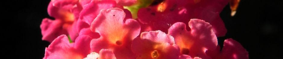 Anklicken um das ganze Bild zu sehen Wandelröschen Blüte rot orange Blatt grün Lantana camara