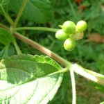 Wandelroeschen Frucht Lantara camara 01