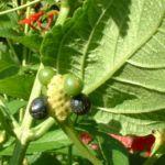 Wandelroeschen Frucht Lantara camara 02