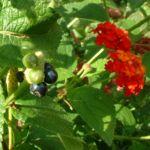 Bild: Wandelröschen Frucht grün Lantana camara