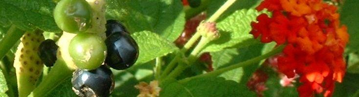 Anklicken um das ganze Bild zu sehen Wandelröschen Frucht grün Lantana camara