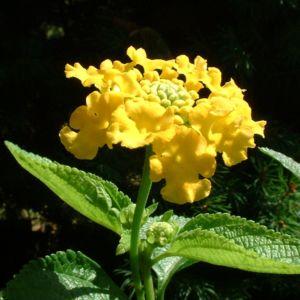Wandelroeschen gelb Lantara camara 01