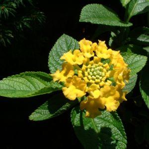 Wandelroeschen gelb Lantara camara 02