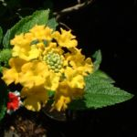 Wandelroeschen gelb Lantara camara 03