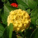 Bild: Wandelröschen Blüte gelb Lantana camara