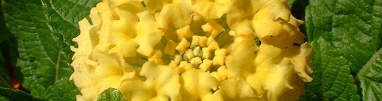 Anklicken um das ganze Bild zu sehen Wandelröschen Blüte gelb Lantana camara