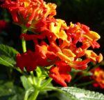 Bild: Wandelröschen Blüte rot Lantana camara