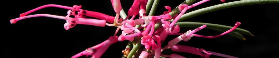warty-fruited-hakea-bluete-weiss-blatt-gruen-rinde-grau-hakea-verrucosa