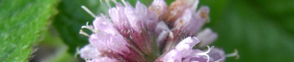 wasserminze-bluete-rose-mentha-aquatica