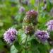 Zurück zum kompletten Bilderset Wasserminze Blüte rose Mentha aquatica
