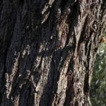 Weeping Myall Blatt gruen Bluete weiss Acacia pendula 02