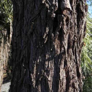 Weeping Myall Blatt gruen Bluete weiss Acacia pendula 03