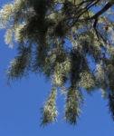 Weeping Myall Blatt gruen Bluete weiss Acacia pendula 05