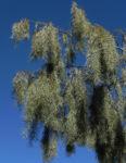 Weeping Myall Blatt gruen Bluete weiss Acacia pendula 07