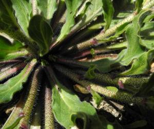 Wegerichblaettriger Natternkopf Blatt gruen Echium plantagineum 19