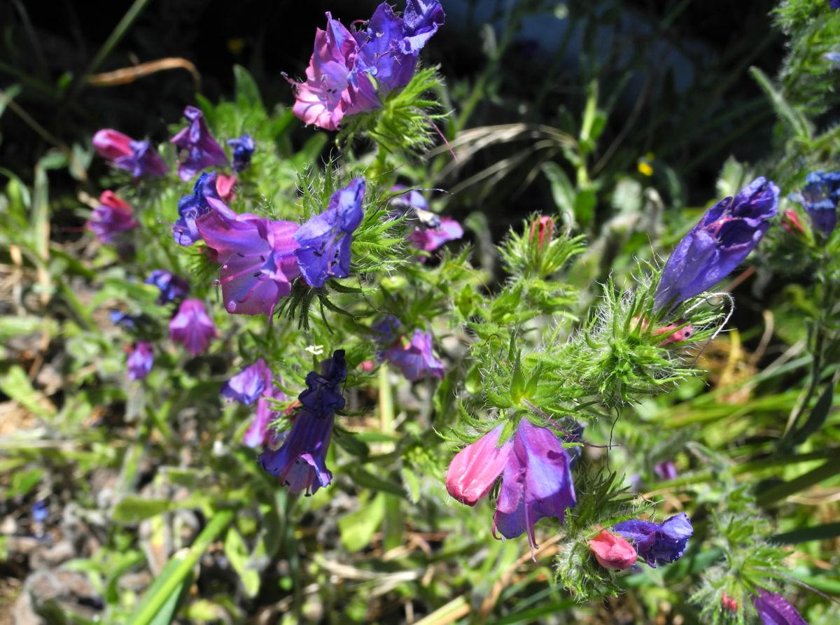 Wegerichblaettriger Natternkopf Bluete blau lila Echium plantagineum