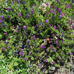 Wegerichblaettriger Natternkopf Bluete blau lila Echium plantagineum 09
