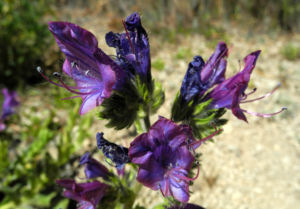 Wegerichblaettriger Natternkopf Bluete blau lila Echium plantagineum 14