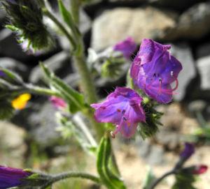 Wegerichblaettriger Natternkopf Bluete blau lila Echium plantagineum 21