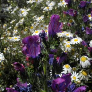 Wegerichblaettriger Natternkopf Bluete blau lila Echium plantagineum 26