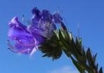 Wegerichblaettriger Natternkopf Bluete lila Echium plantagineum 13